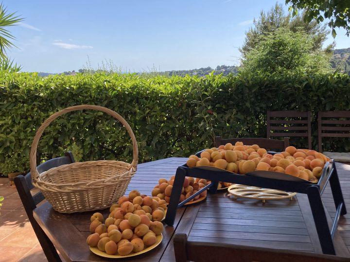 abricots-sur-table-de-la-terrasse-Eric Dussart-juin-2021-Ollioules