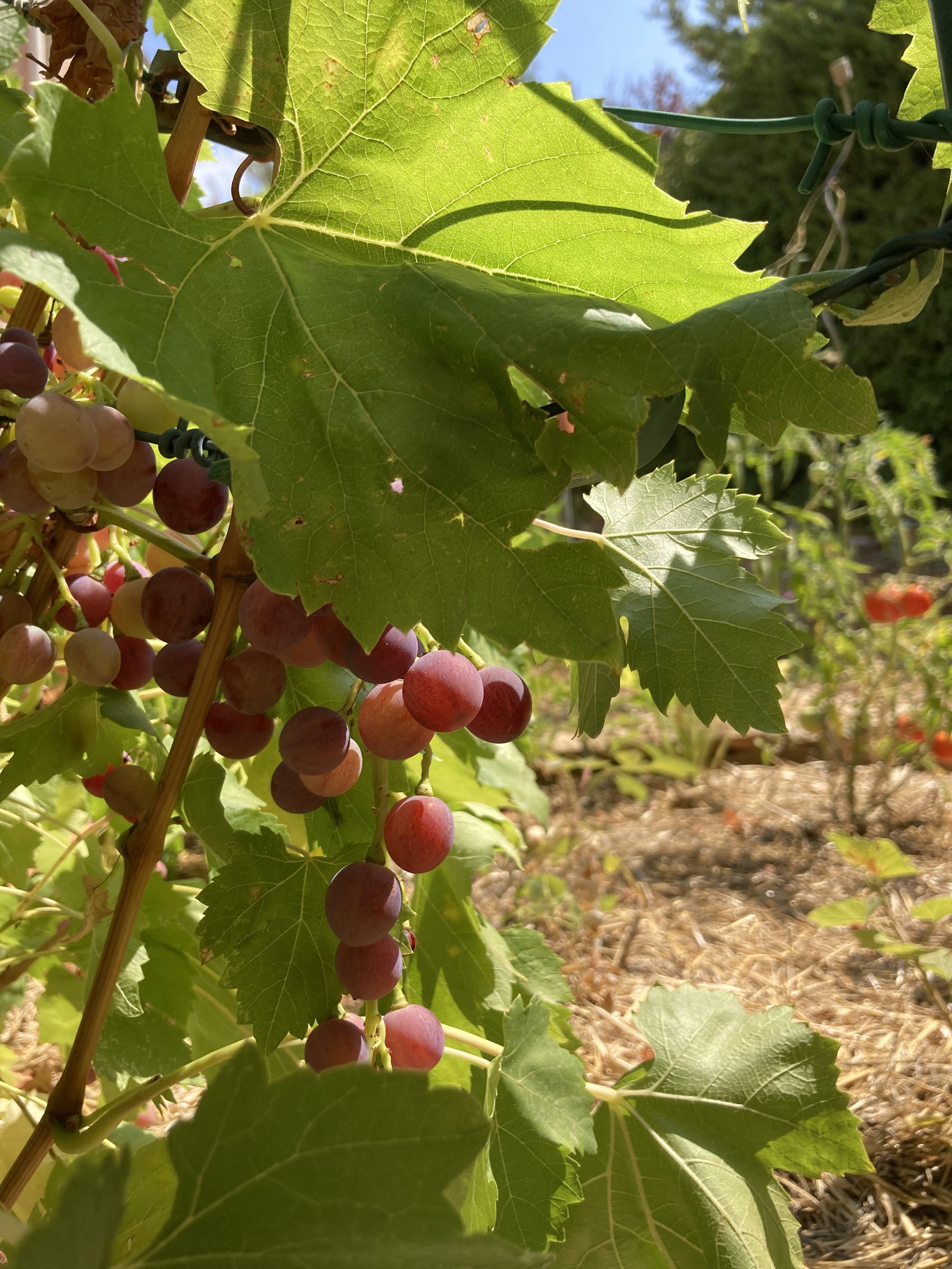 vendange de notre mini vigne (Ollioules - 27 août 2021) - photo 01