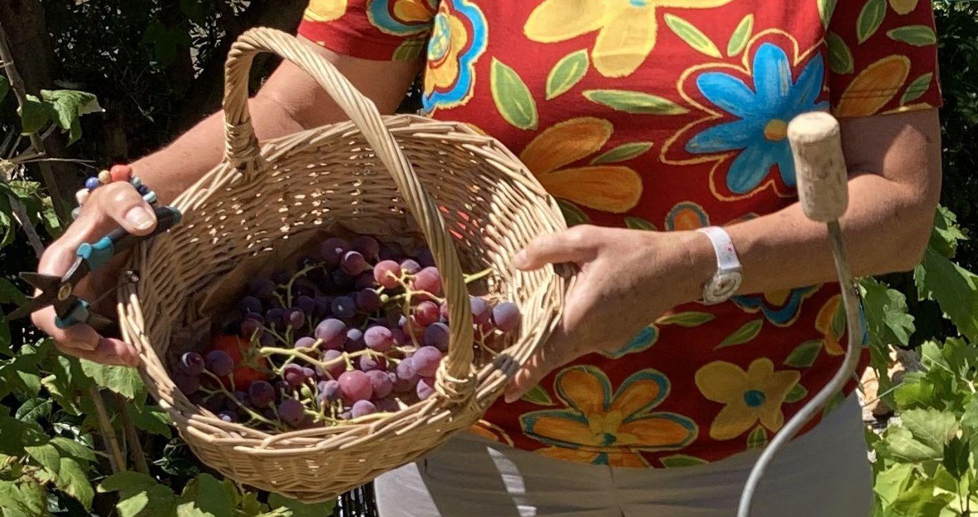 vendange de notre mini vigne (Ollioules - 27 août 2021) - photo 02